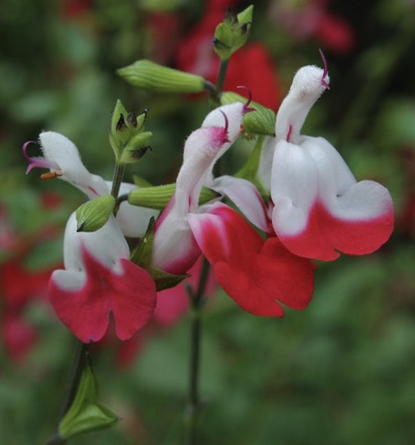 Image of Salvia microphylla 'Hot Lips'
