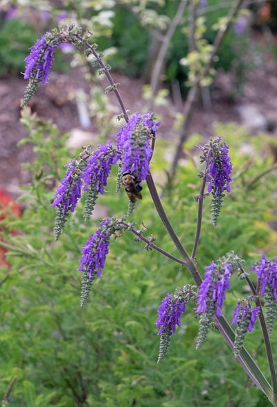 Salvia nutans|Juniper Level Botanic Gdn, NC|