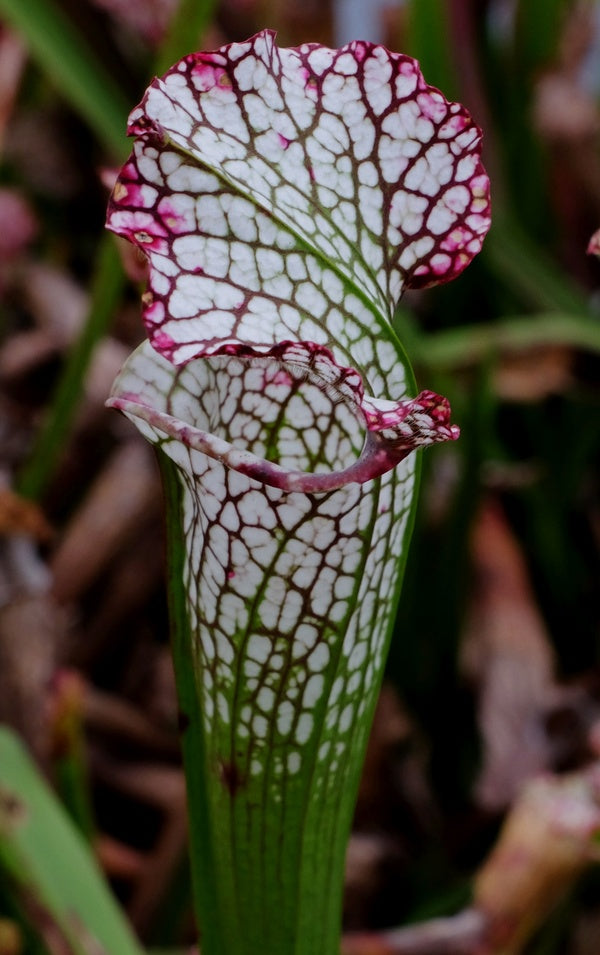 Sarracenia leucophylla 'Hurricane Creek White'