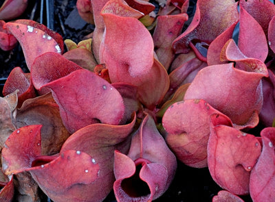 Sarracenia rosea 'Fat Chance'||