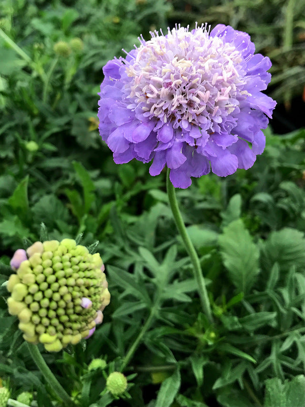 Learn About Scabiosa Columbaria Mariposa Blue Pp 24652 Mariposa
