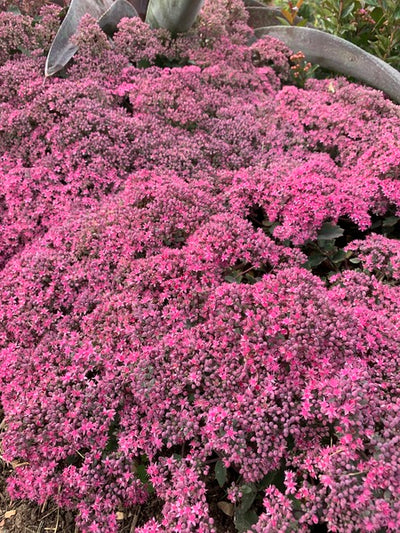 Image of Sedum 'October Sunset'