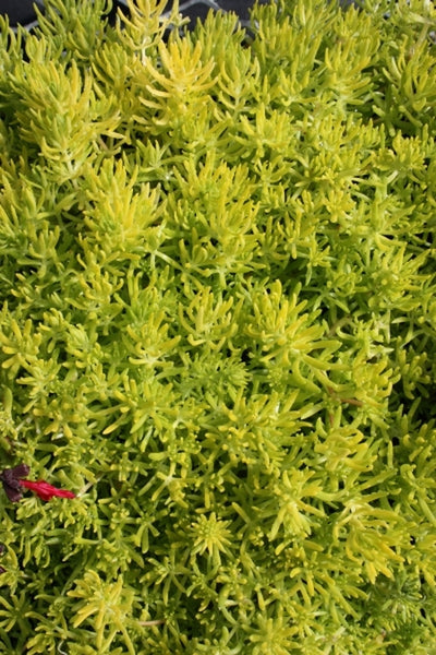 Sedum mexicanum 'Lemon Ball'||