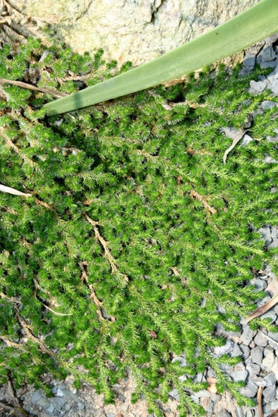 Selaginella peruviana 'Burnet'|Juniper Level Botanic Gdn, NC|JLBG