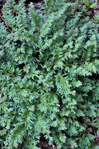 Selaginella uncinata|Juniper Level Botanic Gdn, NC|