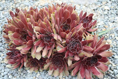 Sempervivum 'Oh My'|Juniper Level Botanic Gdn, NC|JLBG