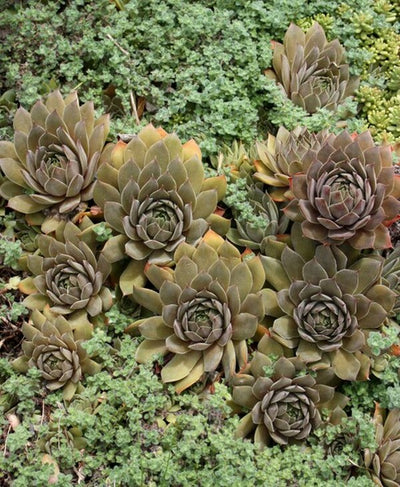 Sempervivum 'Unicorn'|Juniper Level Botanic Gdn, NC|JLBG