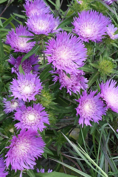 Stokesia laevis 'Honeysong Purple'|Juniper Level Botanic Gdn, NC|