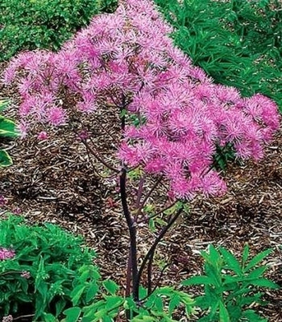 Thalictrum 'Black Stockings'|Terra Nova Nurseries, OR|Terra Nova