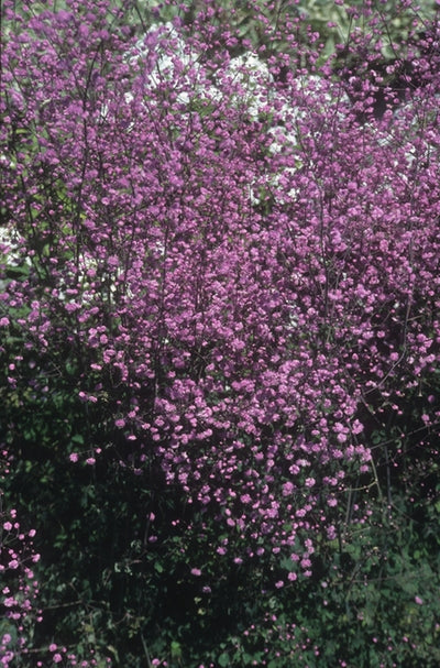 Thalictrum delavayi 'Hewitt's Double'|Suncrest Nsy, CA|