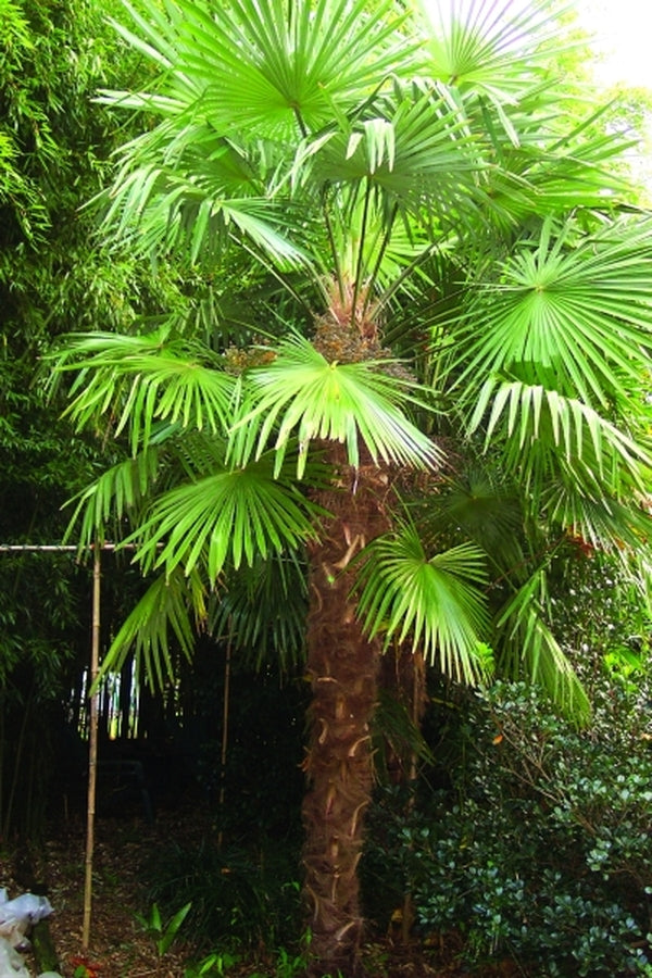 Image of Trachycarpus fortunei Tennessee Form