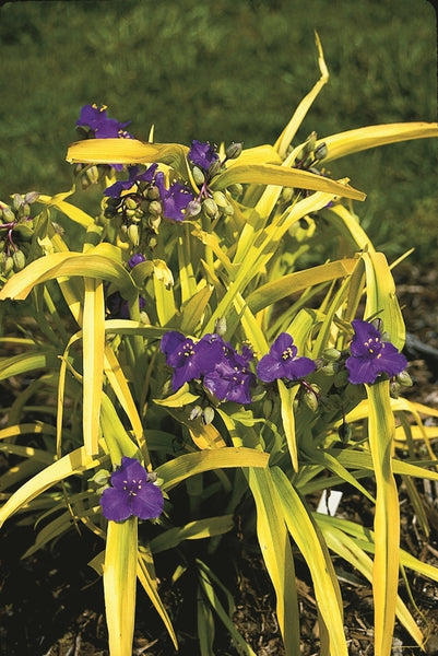 Tradescantia 'Sweet Kate'|Juniper Level Botanic Gdn, NC|JLBG