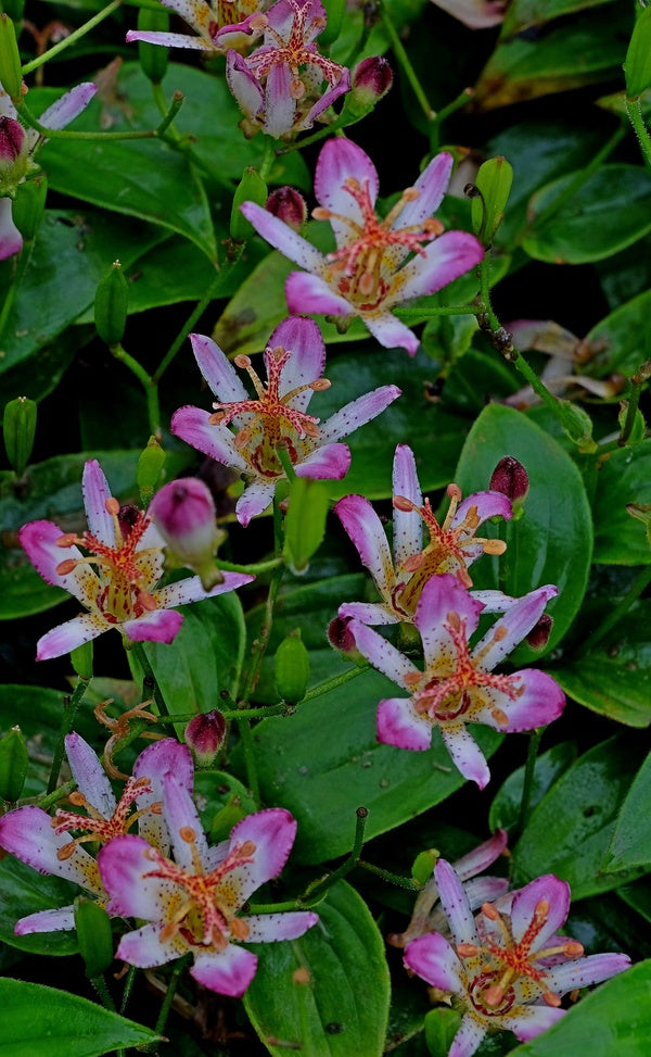 Image of Tricyrtis 'Tosui'