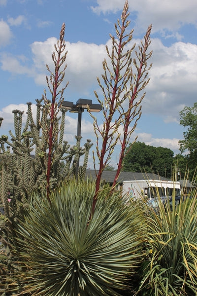 Yucca 'Red Rover'|Paul J. Ciener Botanical Gdn, NC|