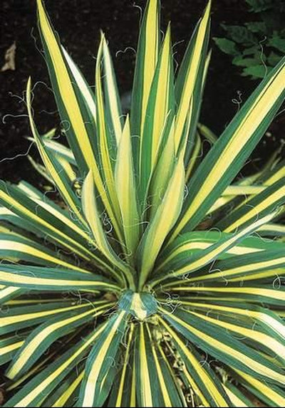 Yucca flaccida 'Color Guard'|Riverbanks Botanical Gdn, SC|