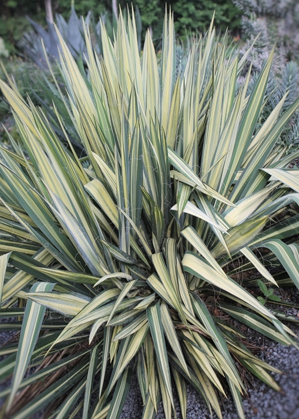 Image of Yucca flaccida 'Wilder's Wonderful'