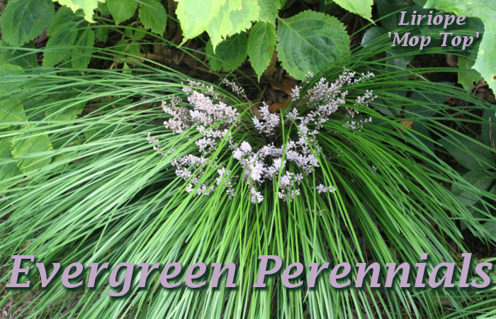 Image of Liriope 'Mop Top', linking to all Evergreen Perennials
