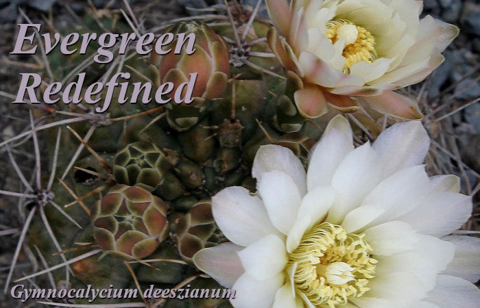 Image of Gymnocalycium deeszianum, linking to all Evergreen Perennials