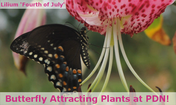 Image of Lilium 'Fourth of July' with a butterfly, linking to Butterfly Attracting Plants