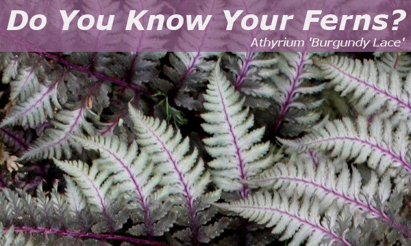 Image of Athyrium 'Burgundy Lace', linking to all Ferns