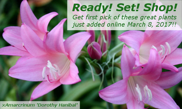 Image of Amarcrinum 'Dorothy Hannibal' linking to new plants added March 8