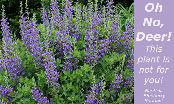 Image of Baptisia 'Blueberry Sundae' linking to all deer resistant plants