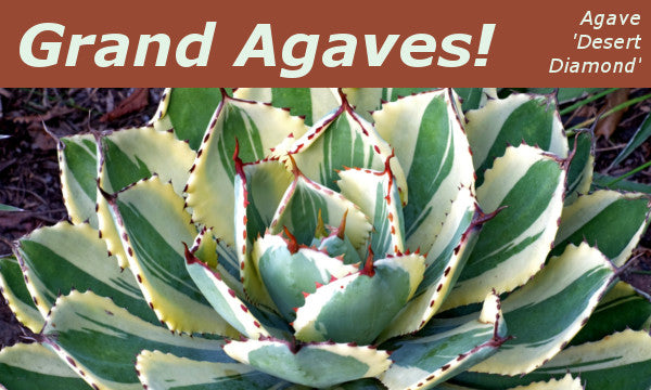Image of Agave 'Desert Diamond linking to Agaves