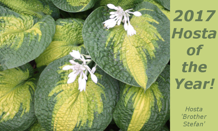 Image of Hosta 'Brother Stefan', linking to Hostas