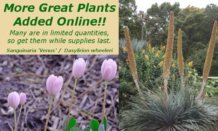 Image of Sanguinaria and Dasylirion linking to New Plants added May 31 for sale at Plant Delights