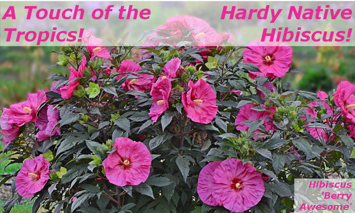 Image of Hibiscus 'Berry Awesome' linking to Native Perennial Hibiscus Plants