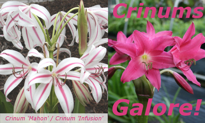 Image of Crinum 'Mahon' and 'Infusion' linking to Crinum