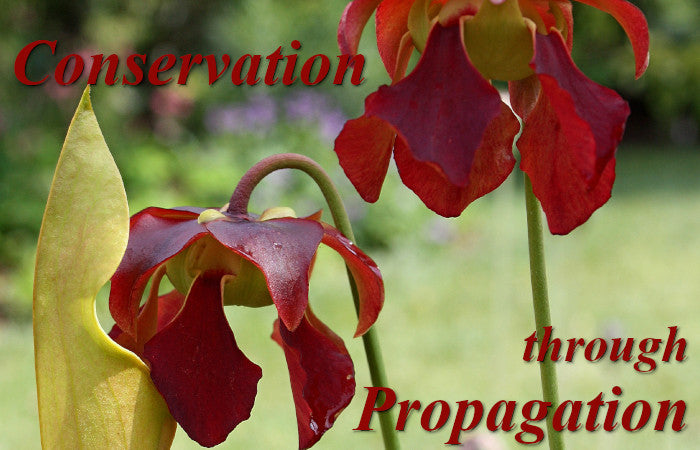 Image of native pitcher plant, linking to endangered plants