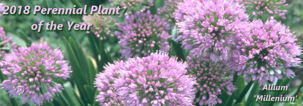 Image of Allium 'Millenium', 2018 Perennial Plant of the Year