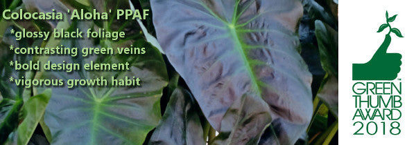 Image of Colocasia 'Aloha', 2018 Green Thumb Award Winner