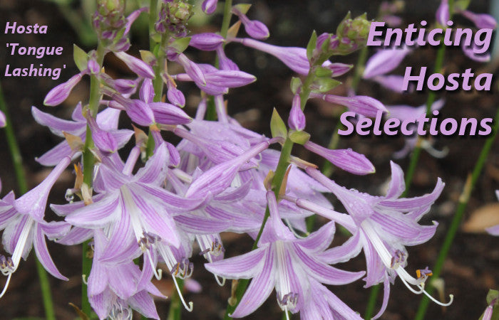 Image of Hosta 'Tongue Lashing' linking to Hostas for sale at Plant Delights