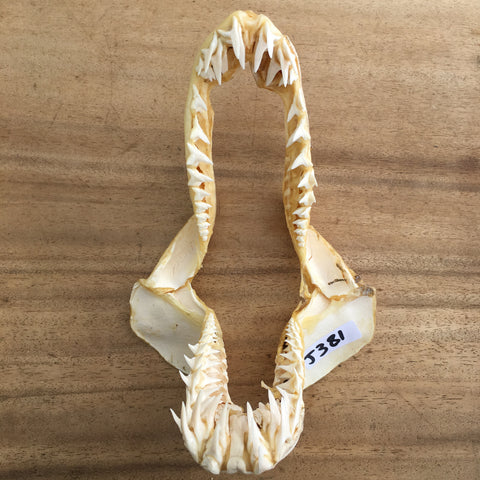 Mako Shark jaws nautical marine #381
