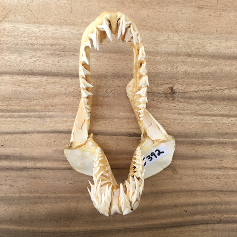 Mako Shark jaws fishermen hunter bar #392