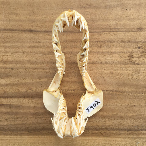 Mako Shark jaws big game fish #402