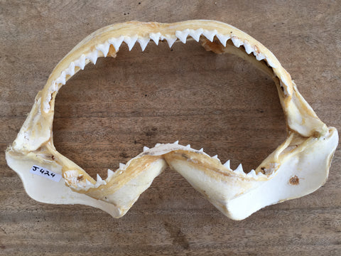 Bull Shark Carcharhinus leucas jaws for sale oceanicshark Australia nautical beach house man cave taxidermygift J424
