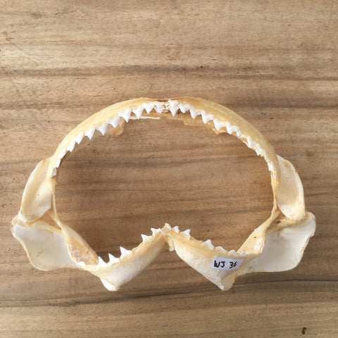 WJ-36 Bull shark Carcharhinus leucas jaws for sale spear fishing boating nautical Australian souvenir