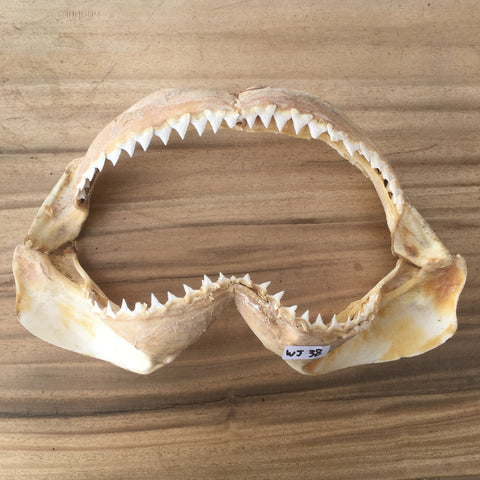 WJ-38 Bull shark Carcharhinus leucas jaws for sale spear fishing boating nautical