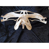 SMOOTH HAMMERHEAD SHARK JAWS Sphyrna zygaena