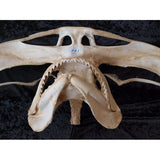 SMOOTH HAMMERHEAD SHARK JAWS for sale Sphyrna zygaena