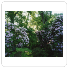Rhododendron, Morning, 2015 - Harry Cory Wright