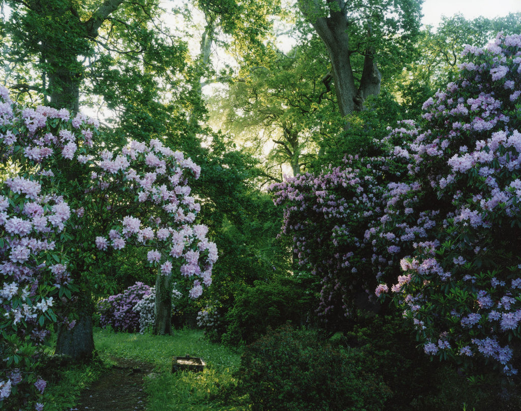 Harry Cory Wright, 1476. Rhododendron. morning