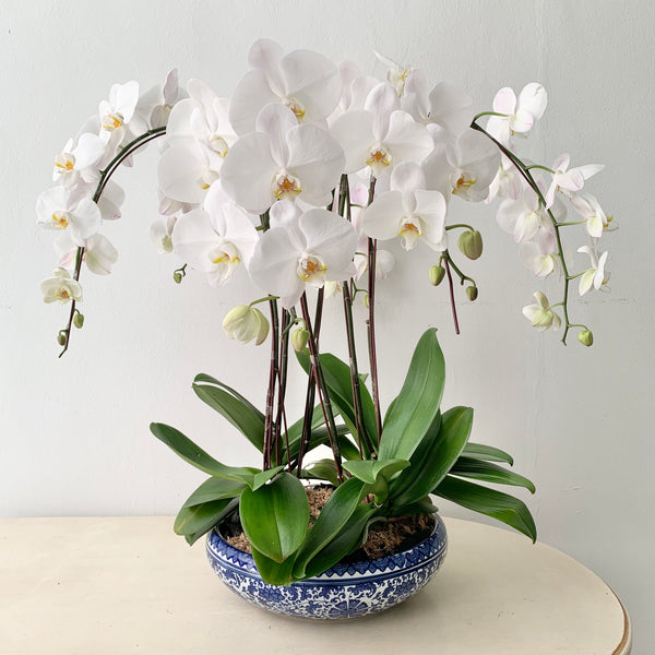 White Phalaenopsis in Chinoiserie
