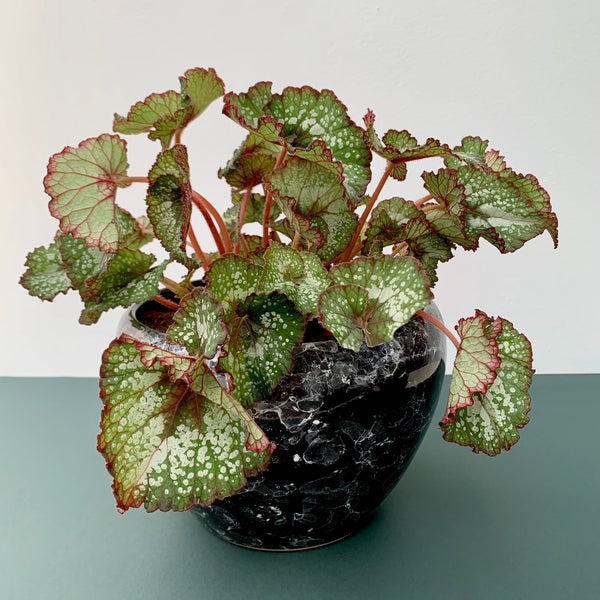 Begonia in Black Marble Pot