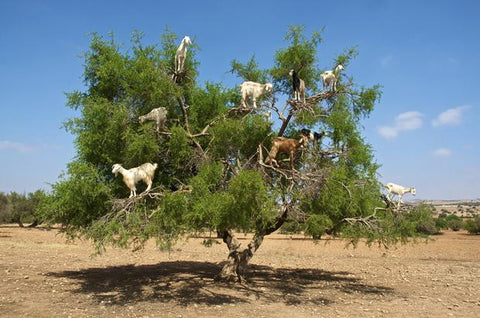 Argan Oil Goats on tree