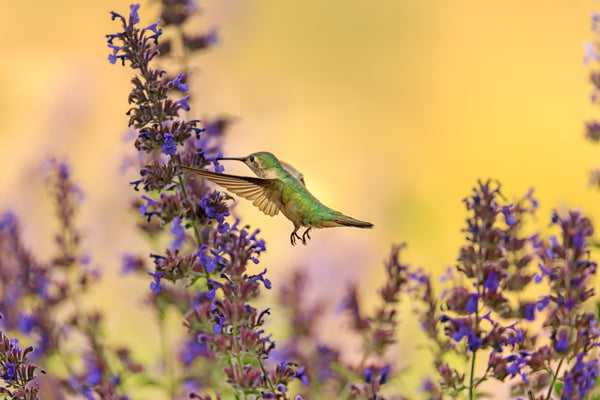 hummingbird feeding from lavender plant Photo by Andrea Reiman on Unsplash