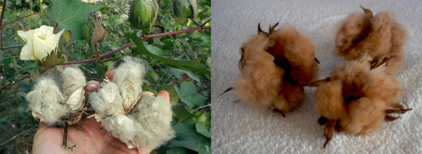 naturally green and brown cotton bolls, image credit SouthernExposure.com and LittleDixie.net